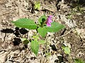 Galeopsis pubescens subsp. pubescens sl3.jpg