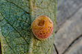 Gall on willow leaf (10764538146).jpg
