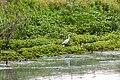 Garceta común (Egretta garzetta), Delta del Danubio, Rumanía, 2016-05-28, DD 32.jpg