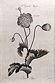 Garden poppy (Papaver sp.); flowering and fruiting stem. Aqu Wellcome V0042991.jpg