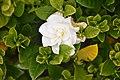 Gardenia 'Fragrant Star' in Auckland Botanic Gardens 01.jpg