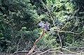 Garza tigre mexicana - panoramio (2).jpg