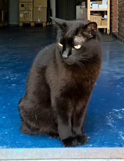 Gato negro wikipedia la enciclopedia libre - El gato negro decoracion ...