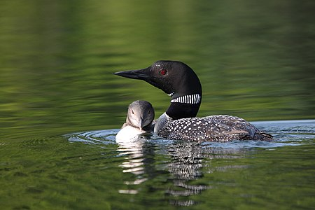 Common Loon, adult and immature