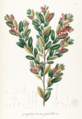 Gaylussacia pulchra Pohl127.png