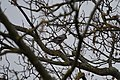 Geai des chênes (Garrulus glandarius glandarius) (2).jpg