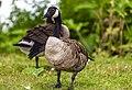 Geese (42570643085).jpg