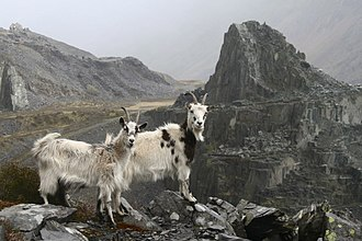 Dinorwig - Wild mountain goats that are often seen wandering around the Dinorwig quarry