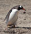 Gentoo Penguin building a nest (5557583462).jpg