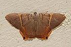 Geometrid moth (Phrygionis polita).jpg