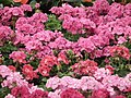 Geranium Hybrid from Lalbagh flower show Aug 2013 7887.JPG