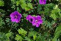 Geranium sanguineum Leeds B.jpg