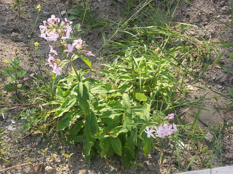 Archivo: Gewöhnliches-Seifenkraut Ganze-Pflanze 6030.jpg