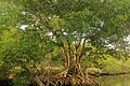 Gfp-mangrove-tree.jpg