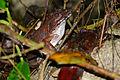 Giant River Frog (Limnonectes leporinus) (23554556326).jpg