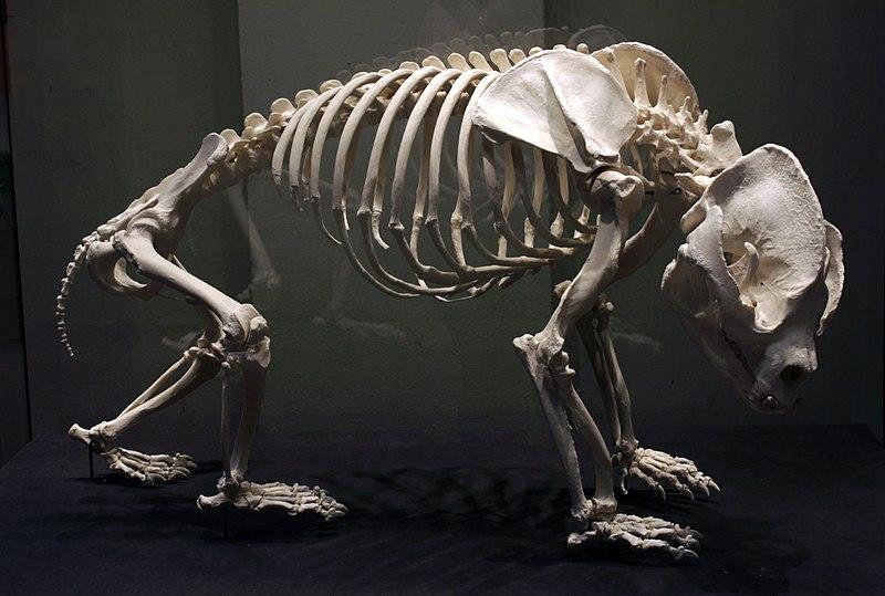 https://upload.wikimedia.org/wikipedia/commons/thumb/d/de/Giant_panda_skeleton_Bao_Bao_Berlin_Museum_f%C3%BCr_Naturkunde_28042018.jpg/800px-Giant_panda_skeleton_Bao_Bao_Berlin_Museum_f%C3%BCr_Naturkunde_28042018.jpg