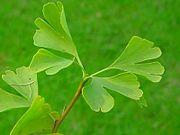 גינקגו העלים שלו בעלי שתי אונות עץ השייך למין בוטני שלא השתנה ב150 מליון שנים אחרונות  ויקיפדיה האינצקלופדי החופשית