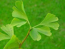 Herbatika-lekovito bilje  - Page 3 250px-Gingko-Blaetter