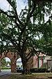 Ginkgo biloba in Tournai (DSCF8790).jpg