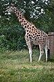 Giraffe (5923117660).jpg