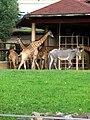 Giraffes and zebra 01.JPG
