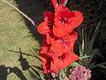 Gladiolud'RedCascade'01.jpg