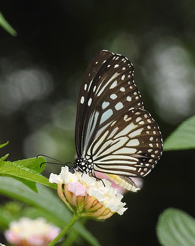 File:Glassy Tiger Parantica aglea by Dr  Raju Kasambe