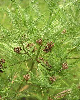 <i>Glyptostrobus pensilis</i> species of plant