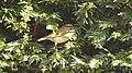 Goldcrest Regulus regulus (28299915799).jpg