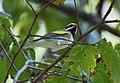 Golden-winged Warbler (37264010016).jpg