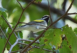 Golden-winged Warbler (37264010016).jpg