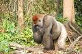 Gorilla gorilla09.jpg