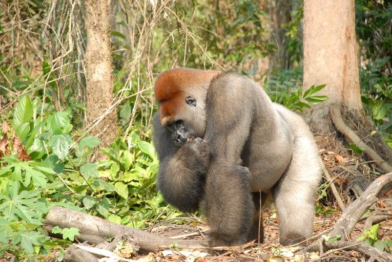 Gorilla gorilla09