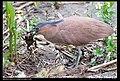 Gorsachius melanolophus (5623710161).jpg