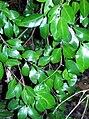 Gossia fragrantissima Coffs.jpg