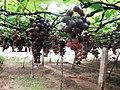 Grapes Plantation @ Cumbum, Theni - panoramio (5).jpg