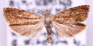 <i>Grapholita lobarzewskii</i> Species of moth
