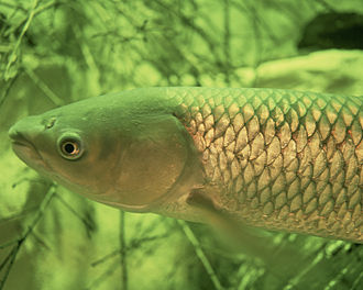 Angling records in the UK - Image: Grass Carp