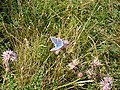 Grassmoor Country Park - Common Blue Butterfly - geograph.org.uk - 314664.jpg