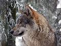Grauwolf P1130284.jpg