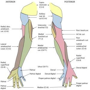 Dorsal digital nerves of radial nerve - Diagram of segmental distribution of the cutaneous nerves of the right upper extremity. (Dorsal digital nerves of radial nerve at bottom right, in yellow.)