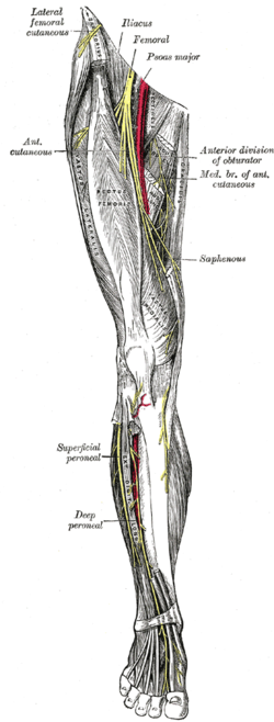 saphenous nerve - wikipedia, Muscles