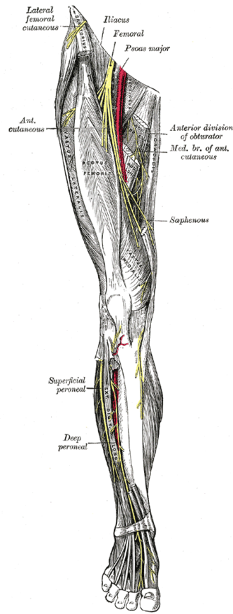 Saphenous nerve - Nerves of the right lower extremity. Front view. (Saphenous labeled at center right.)