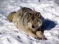 Gray Wolf, Omega Park, QC.jpg