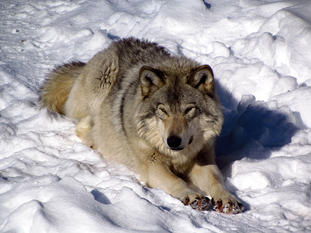 Where does the eastern wolf live webcam