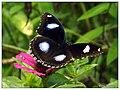 Great Eggfly (15067515291).jpg