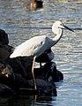 Great Egret Ardea alba by Dr. Raju Kasambe DSCN6547 (27).jpg