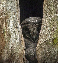Greater Sooty Owl, Papua New Guinea.jpg
