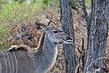 Greater kudu on Madlabantu Trail .jpg