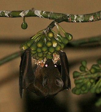 Greater short-nosed fruit bat - Image: Greater short nosed fruit bat (Cynopterus sphinx) feeding on Kapok (Ceiba pentandra) at night in Kolkata W IMG 3877